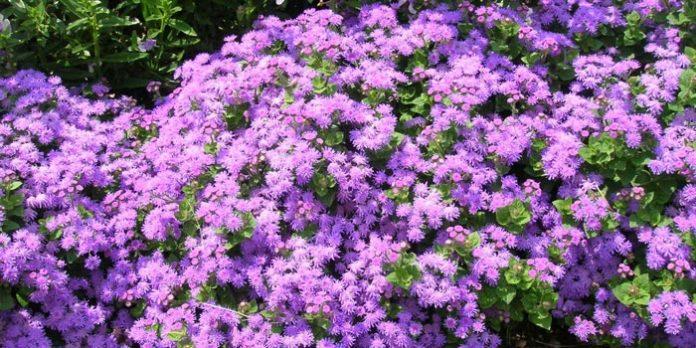 Ageratum : plante annuelle