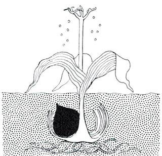 Bulbe en fin de floraison