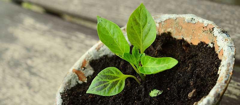 bouture d'une plante d'intérieur