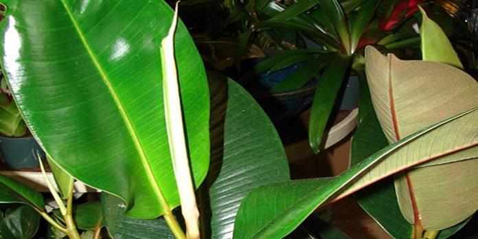 Ficus Elastica Dora