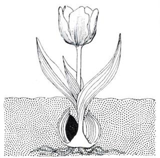 La floraison vide l'oignon de ses réserves et celui-ci se dessèche.
