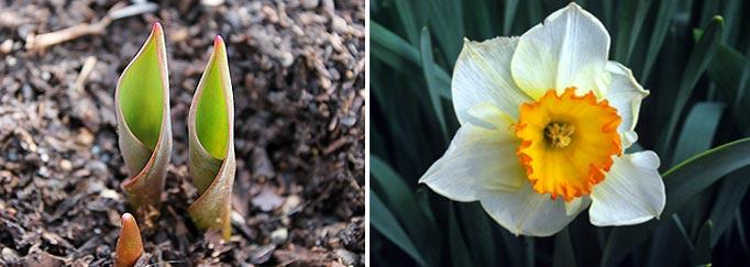 Bulbe qui sort de terre et Narcisse fleurie