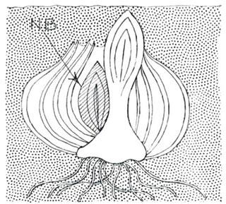 Bulbe en fin d'hiver (schéma)