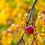 Arbre fruitier en automne