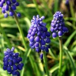 Plante bulbeuse