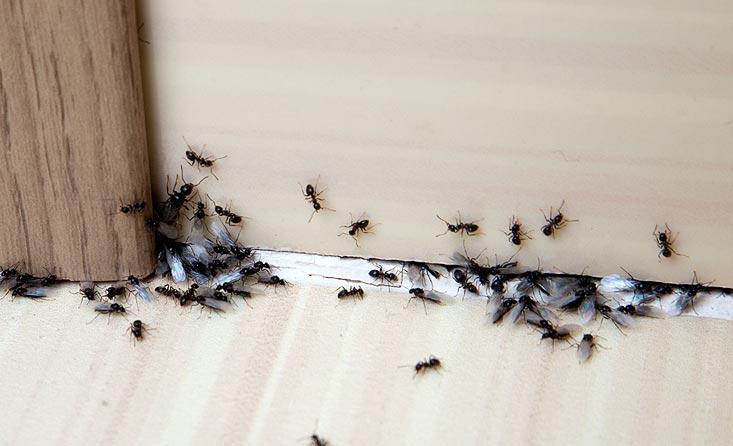 nuisible fourmis