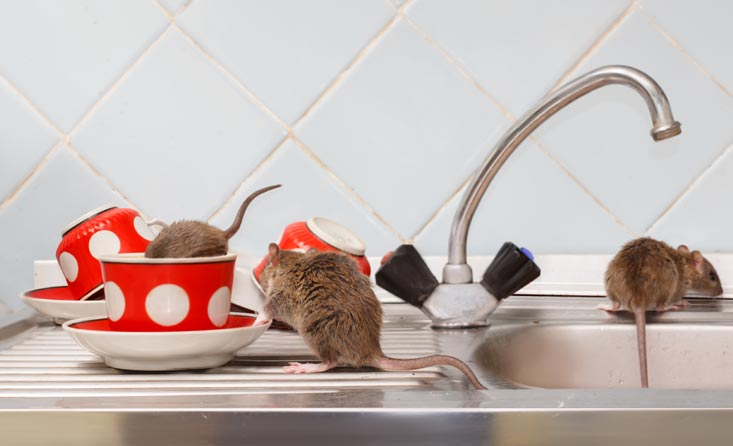 nuisible souris